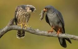 фото птица кобчик